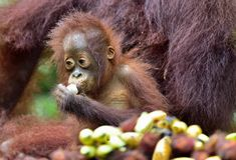 Orangutan cub  eating. In a natural habitat area. Bornean orangutan Pongo  pygmaeus wurmbii in the wild nature. Rainforest of Is. Land Borneo. Indonesia Royalty Free Stock Image