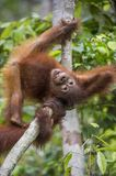 Orangutan cub on the tree. Royalty Free Stock Images