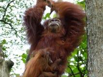 Orangutan d'oscillazione con il bambino Fotografia Stock Libera da Diritti