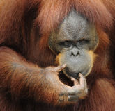 Orangutan posing as if in deep thought Stock Photo