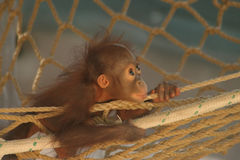 Orangutan del bambino Fotografie Stock
