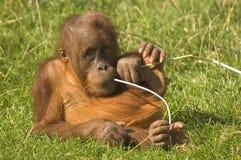 Orangutan del bambino Immagini Stock