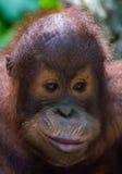 Orangutan del bambino Immagini Stock Libere da Diritti