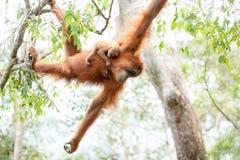 Orangutan del bambino Fotografia Stock Libera da Diritti