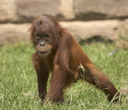 Orangutan del bambino di Playfull Fotografie Stock Libere da Diritti