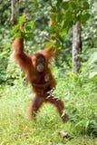 Orangutan del bambino e della madre Fotografia Stock Libera da Diritti