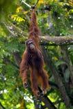 Orangutan del Borneo Immagini Stock Libere da Diritti
