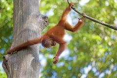 Orangutan del Borneo Immagini Stock