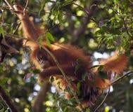 Orangutan del cucciolo nelle giungle di Sumatra Immagine Stock