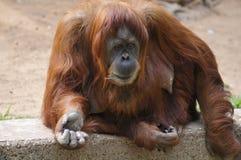 Orangutan della femmina adulta Fotografia Stock Libera da Diritti