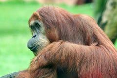 Orangutan della scimmia Immagini Stock Libere da Diritti