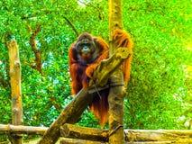 Orangutan dello SRI LANKA Fotografie Stock Libere da Diritti