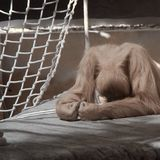 Orangutan Despair Stock Photo