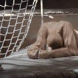 Orangutan Despair. Very sad looking Orangutan lying on a platform Stock Photo