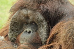 Orangutan di Bornean Immagine Stock Libera da Diritti