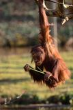 Orangutan di Bornean Fotografia Stock