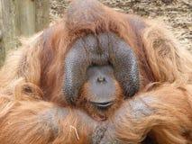 Orangutan di Bornean che si siede appena al sole fotografie stock libere da diritti