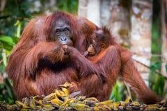 Orangutan di Bornean a pranzo Fotografie Stock