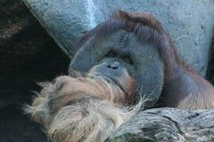 Orangutan di Sumatra (abelii di pygmaeus del pongo) Fotografia Stock Libera da Diritti