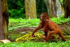 Orangutan di Sumatran Fotografia Stock Libera da Diritti
