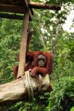 orangutan dopatrywanie Obraz Royalty Free