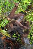 Orangutan drinking water from the river in the jungle. Central Bornean orangutan  Pongo pygmaeus wurmbii  in the wild nature, na. Tural habitat. Tropical Royalty Free Stock Images