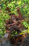 Orangutan drinking water from the river in the jungle. Stock Photography