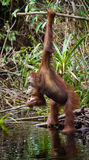 Orangutan drinking water from the river in the jungle. Indonesia. The island of Kalimantan (Borneo). An excellent illustration royalty free stock images