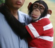 orangutan dziecka Zdjęcie Stock