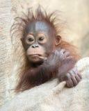 Orangutan dziecko - Hmmm… Pozwala ja myśleć. Obrazy Royalty Free