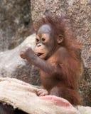Orangutan - dziecko ssa na kciuku Zdjęcia Royalty Free