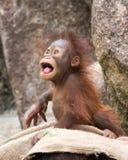 Orangutan - dziecko Szalenie spojrzenie Fotografia Stock