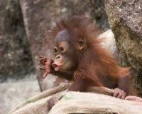 Orangutan - dziecko z zdziwionym spojrzeniem Zdjęcia Stock