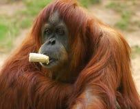 Orangutan eating. At the zoo Royalty Free Stock Photo