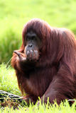 Orangutan eating Royalty Free Stock Image
