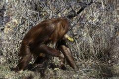 Orangutan eating banana in Denver Zoo royalty free stock images