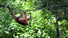 Orangutan Eating Banana at Feeding Platform