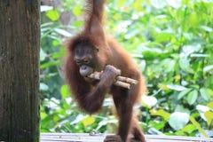 Orangutan eating Royalty Free Stock Photography