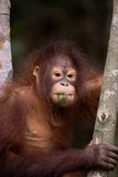 Orangutan eating leaf Royalty Free Stock Photos