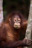 Orangutan eating leaf. A young Malaysian Orangutan eating a leaf in a tree Royalty Free Stock Photos