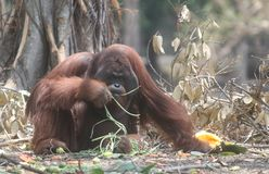 Orangutan eating. Portrait of Orangutan eating looking at you Royalty Free Stock Photos