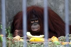 Orangutan eating. Portrait of Orangutan eating looking at you Royalty Free Stock Photography
