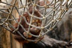 Orangutan Eating a Snack Stock Photos
