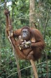 Orangutan embracing young in tree Stock Images