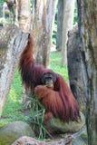 Orangutan 1. An Orangutan enjoying its meal Stock Photos