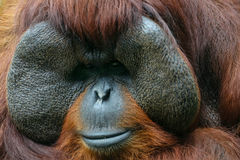 Orangutan Eye Contact. A close-up facial shot of an orangutan who faced the camera and makes eye contact with us royalty free stock photo