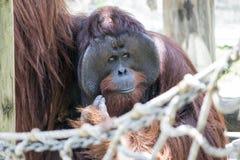 Orangutan Eye Rolling Stock Photography