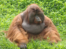 orangutan för asia borneo enorm male apaorange Arkivbilder