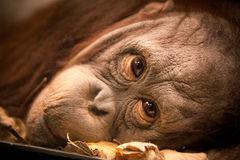 Orangutan Face. Bright Eyes Staring out of Orangutan royalty free stock image