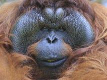 Orangutan face Royalty Free Stock Image